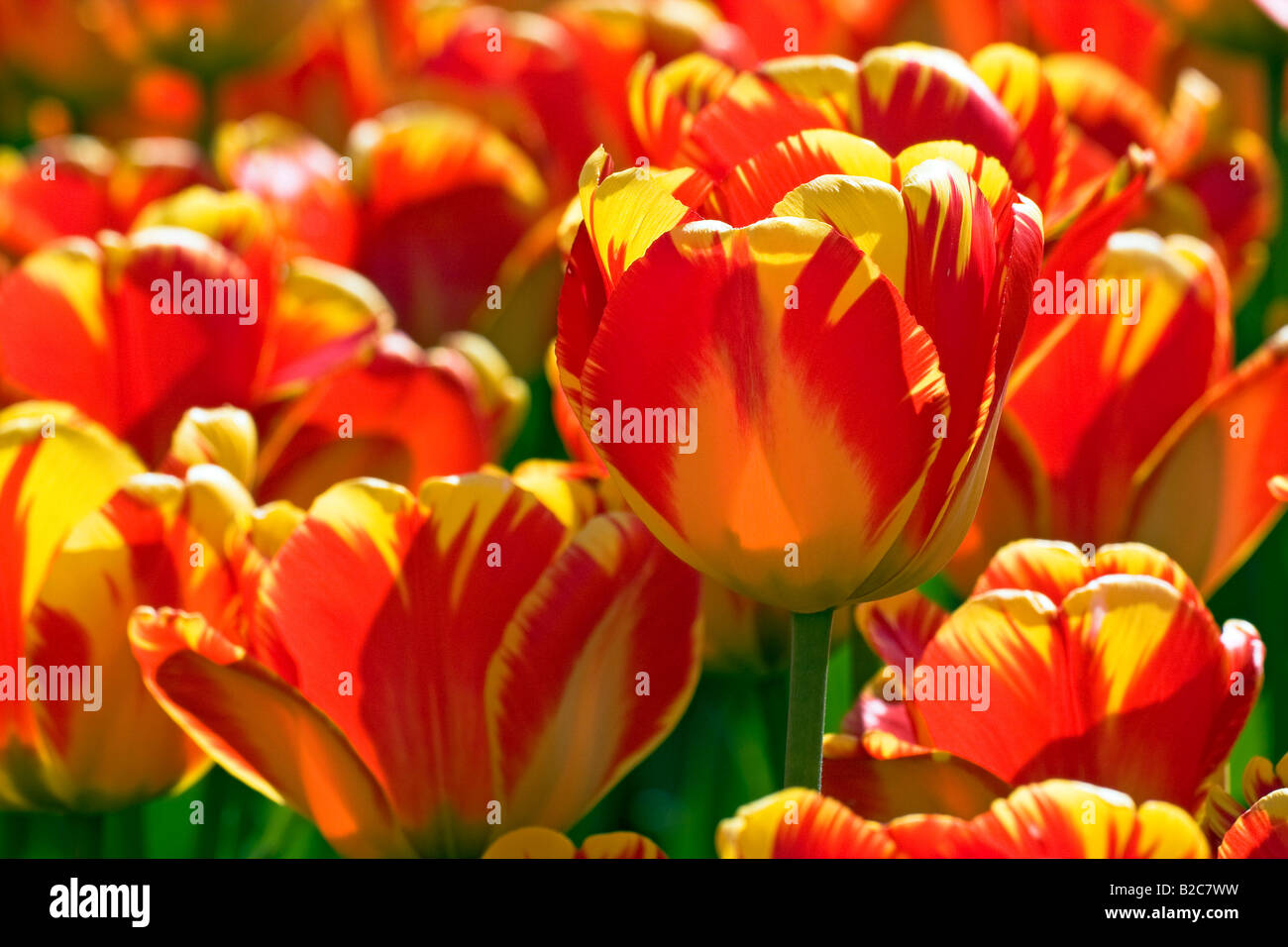 Red-yellow Darwin-Hybrid-Tulips (Tulipa cultivar), species Banja Laka - Stock Image
