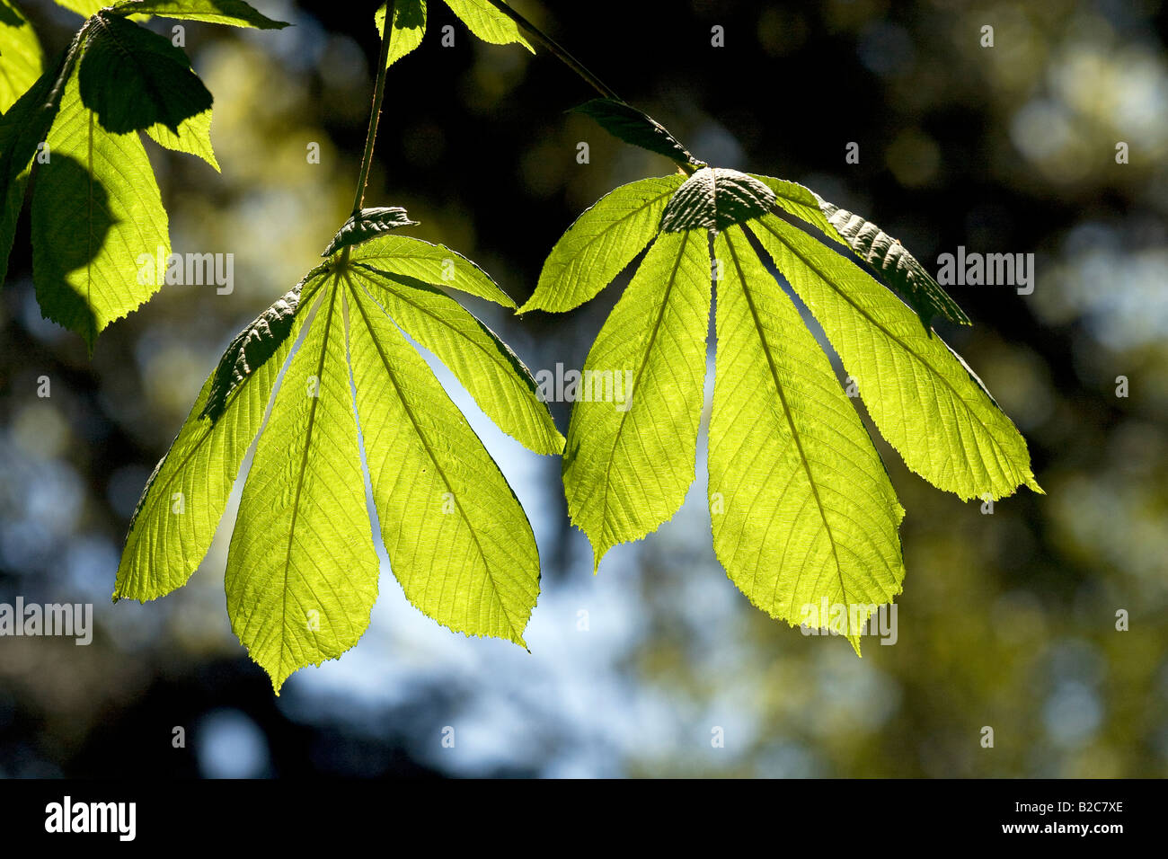 Horse-chestnut or Conker tree (Aesculus hippocastanum), tree with spring growth, backlit leaves, visible leaf veins - Stock Image