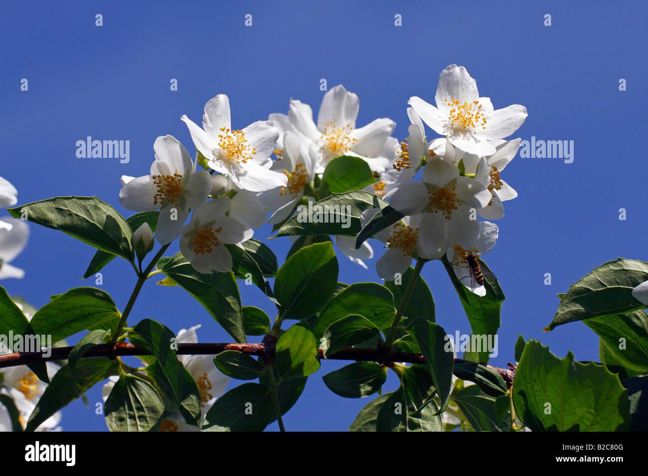 Flowering Sweet Mock Orange, Farmer Jasmine (Philadelphus coronarius) - Stock Image