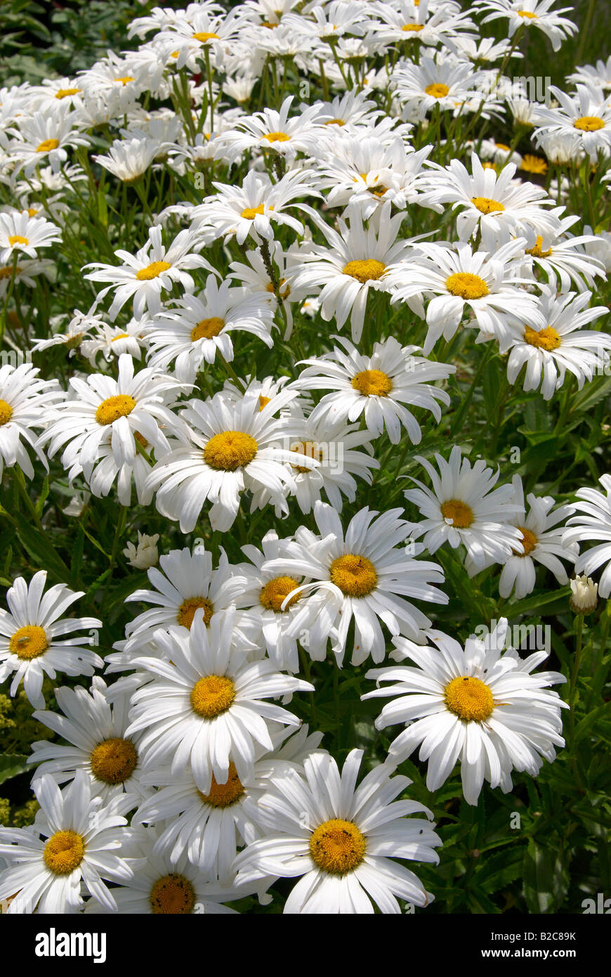 England leucantheum white flower flowers daisy stock photos search results for england leucantheum white flower flowers daisy stock photos and images izmirmasajfo