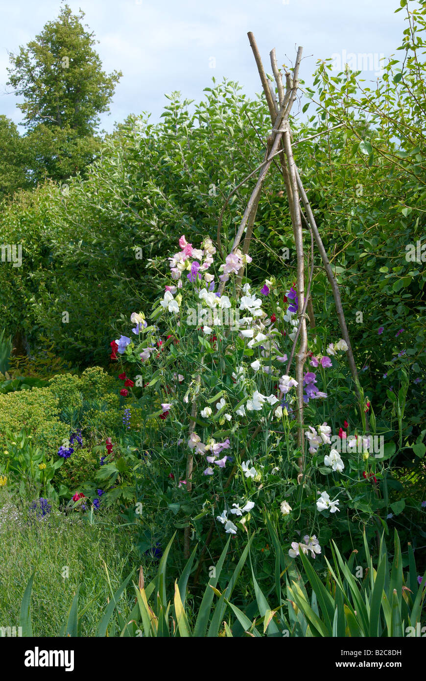 Traditional English Garden With Sweet Peas Growing On A Hazel Stick Wigwam.