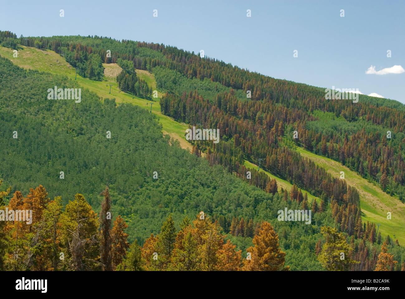 Diseased pine trees with Bark beetle infestation above Beaver Creek Colorado - Stock Image