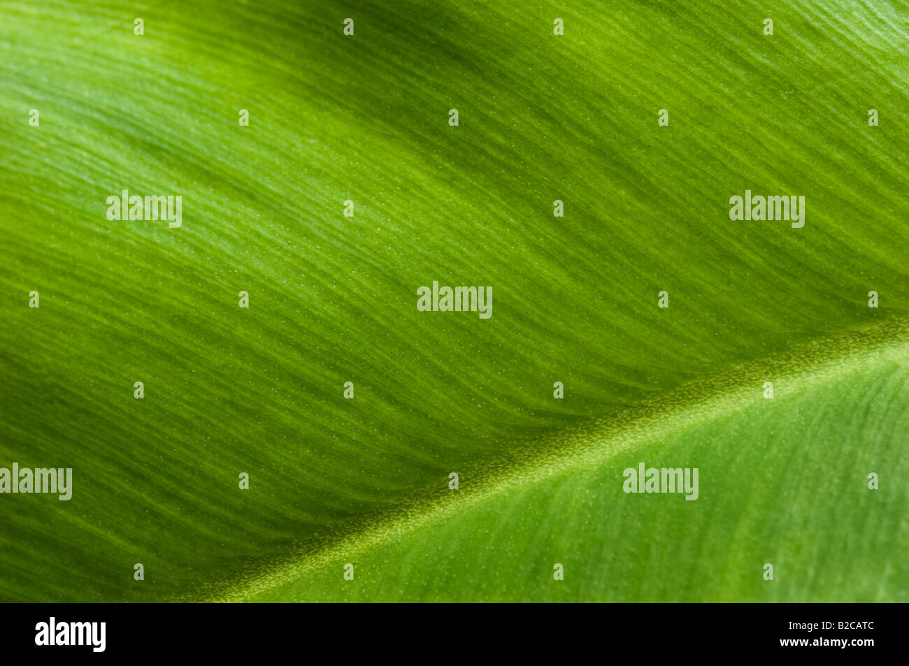 chlorophyll green plant leaf structures pattern nature symbol environment DETAIL new fresh - Stock Image