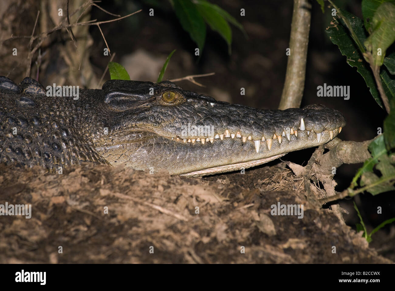 Wild Saltwater Crocodile Saltie Estuarine Crocodile Leistenkrokodil Crocodylus porosus spotlighting Australia Daintree - Stock Image