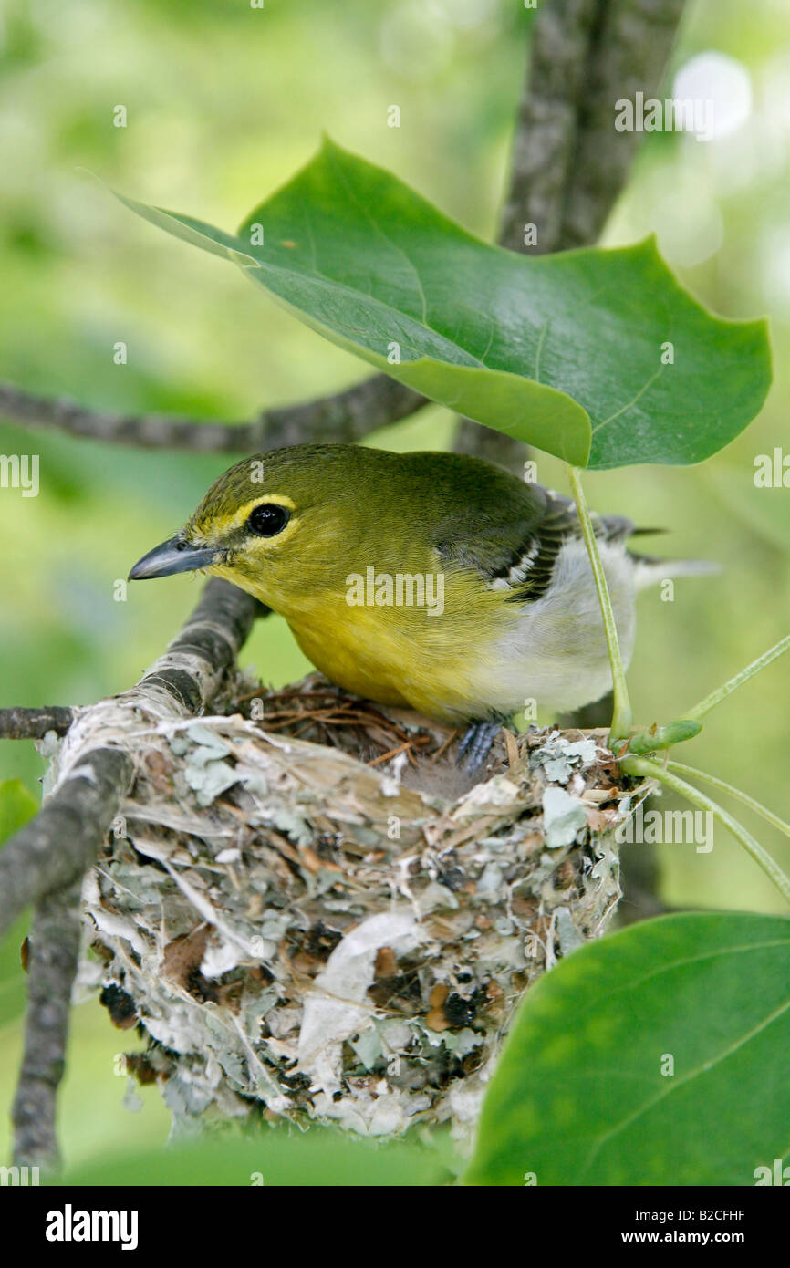 Yellow throated Vireo at Nest in Tulip Tree Vertical - Stock Image