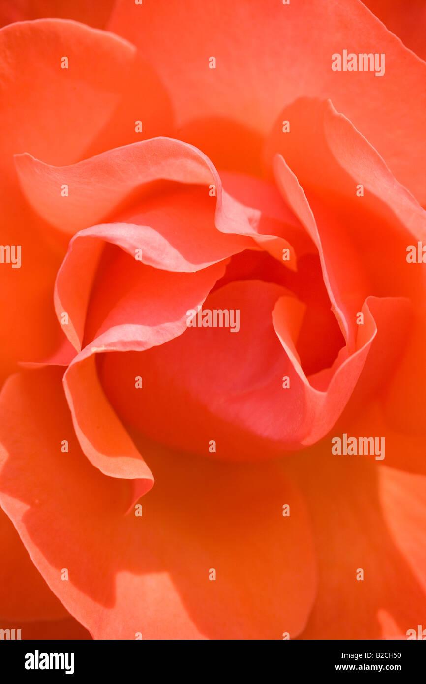 Close up of 'Tintinara' rose. Rose Garden, Inner Circle, Regent's Park, London, England - Stock Image