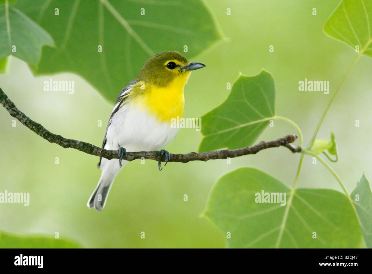 Yellow throated Vireo - Stock Image