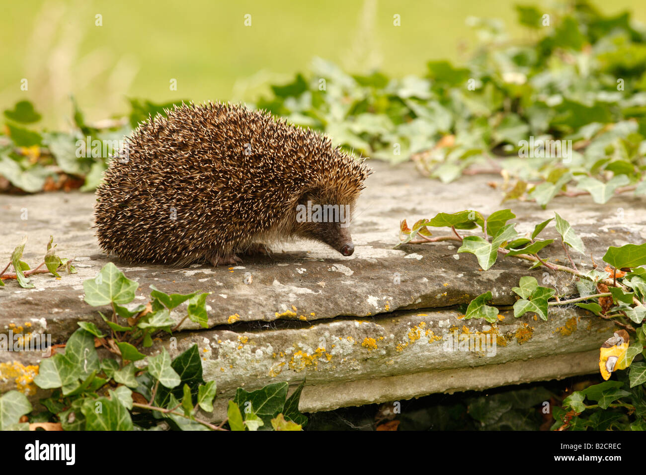 Hedgehog Erinaceus europaeus summer West Midlands - Stock Image