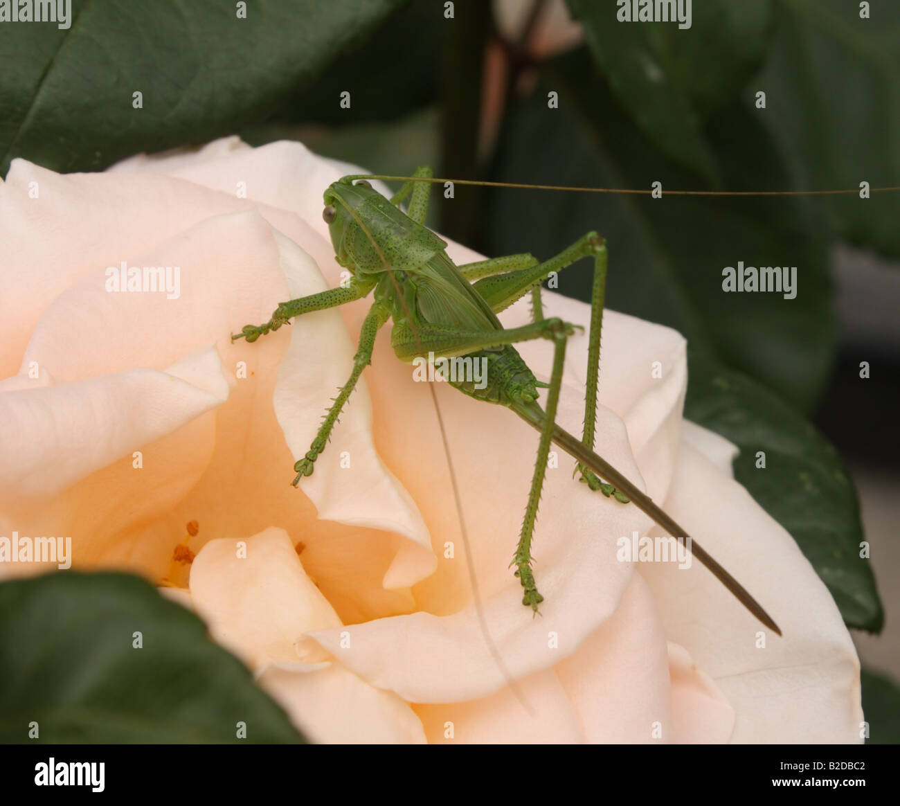 Grasshopper and rose - Stock Image