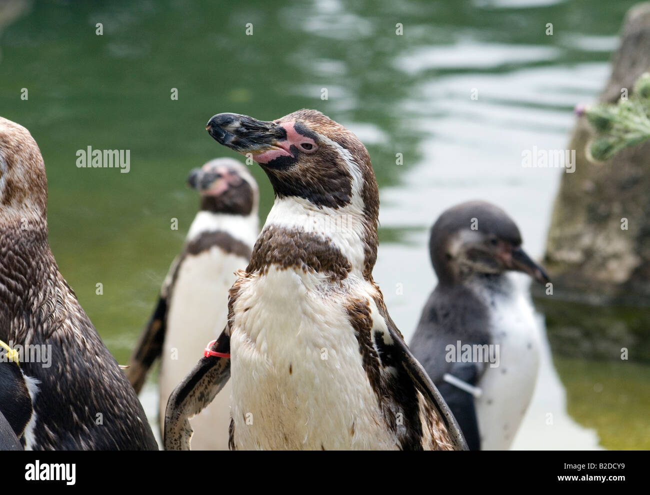 A group of Huboldt Penguins with tags on. - Stock Image