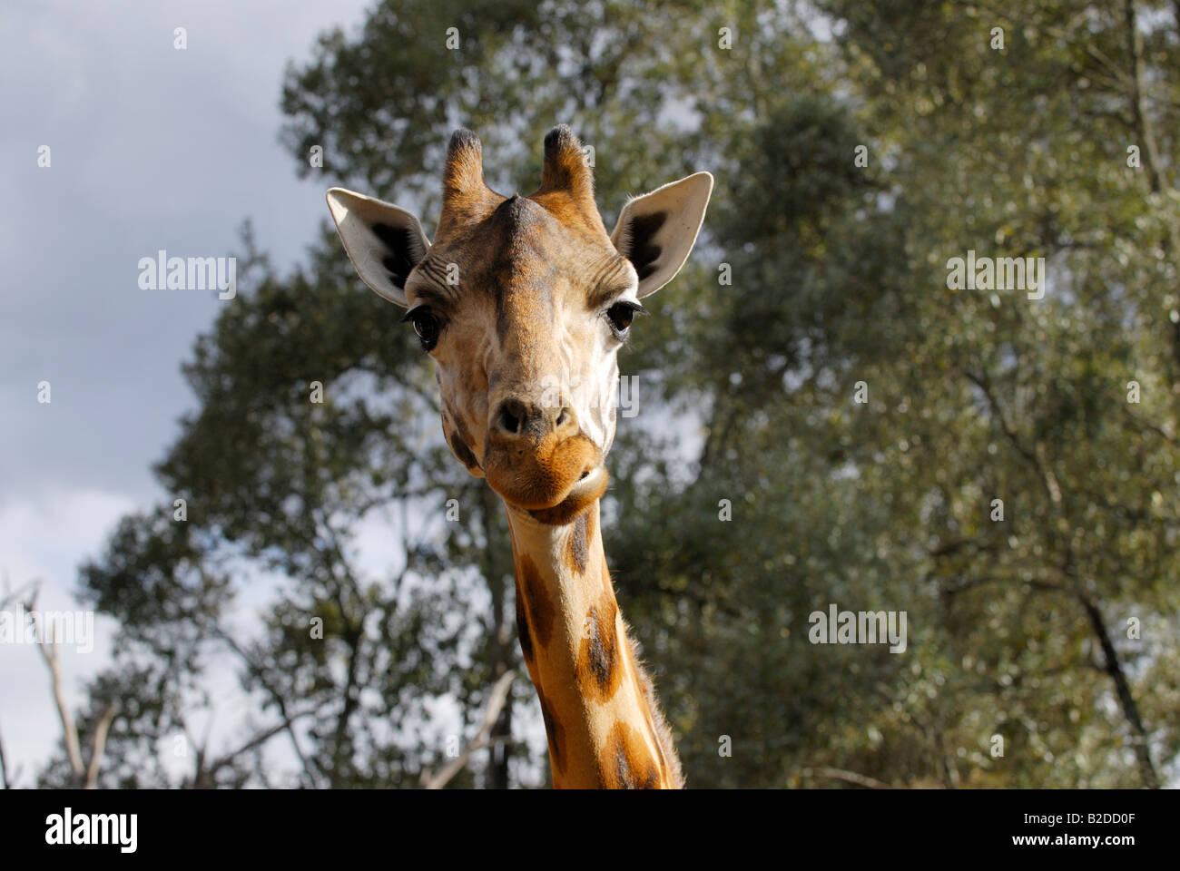 Rothschild giraf GIRAFFA CAMELOPARDALIS ROTHSCHILDI the Giraffe Manor NAIROBI KENYA Africa - Stock Image