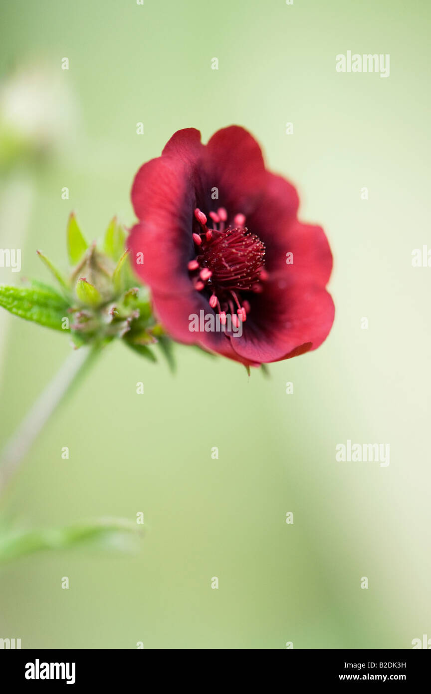 Potentilla thurberi 'Monarch's velvet'. Scarlet cinquefoil 'Monarch's velvet' flower Stock Photo