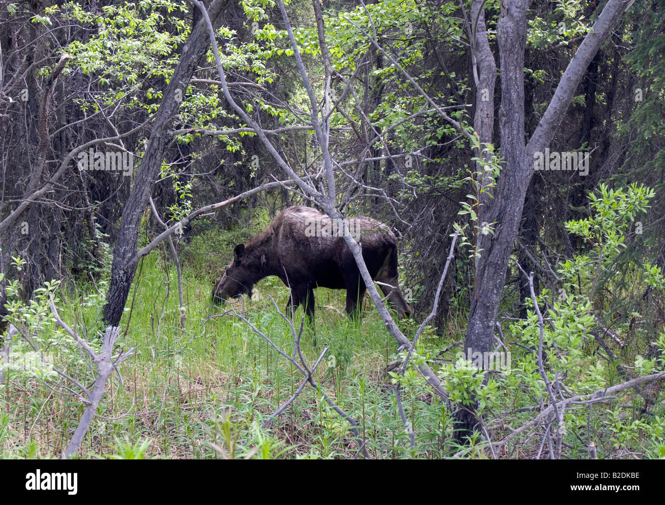 Moose scouting for food in the forest. - Stock Image