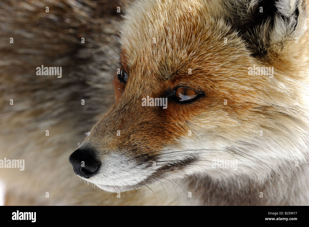 fox foxes red Vulpes vulpes canidae mammal mountain winter snow snowfall wood Italy volpe rossa Vulpes vulpes canidi - Stock Image