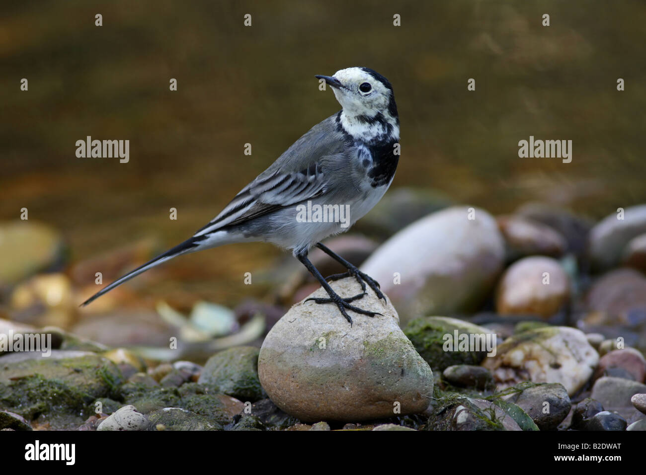 Pied Wagtail (Motacilla alba) with food - Wetton Mill, Staffordshire Stock Photo
