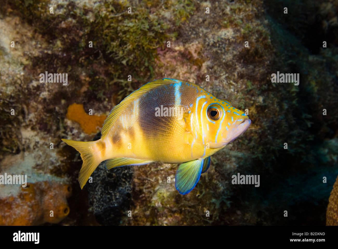 Barred hamlet, Hyploplectrus puella, Bonaire, Netherlands Antilles, Caribbean. - Stock Image