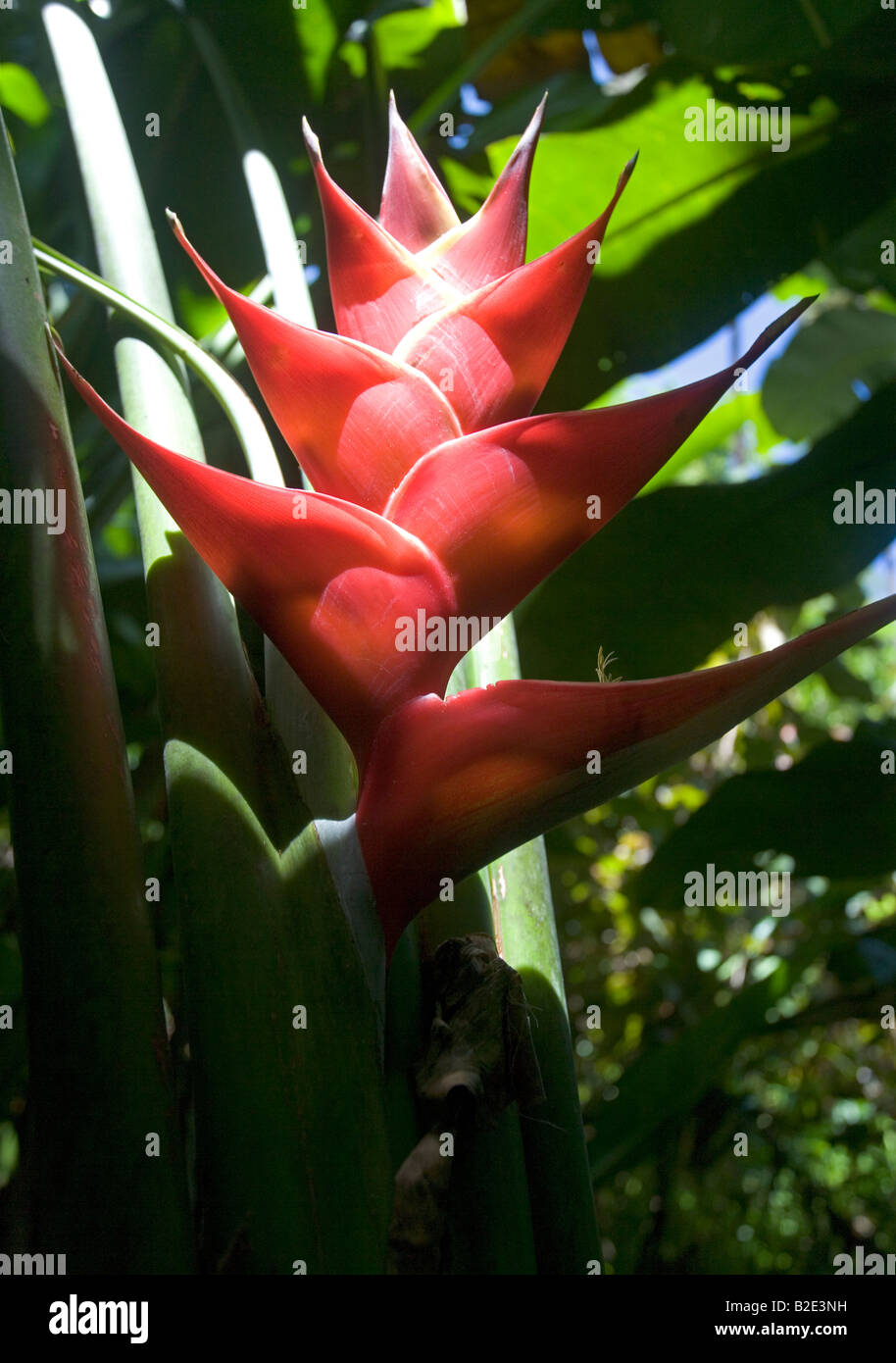 Red Heliconia flower in the jungles of St Lucia near the Pitons - Stock Image