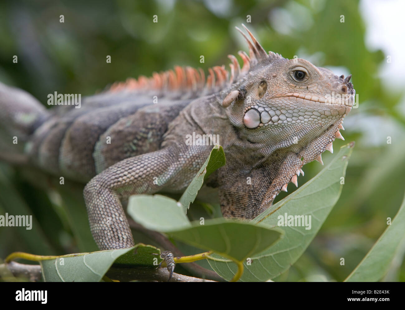 A Green Iguana eating leaves from a tree with a tick biting into its neck This one was in the Tobago Cays St Vincent - Stock Image