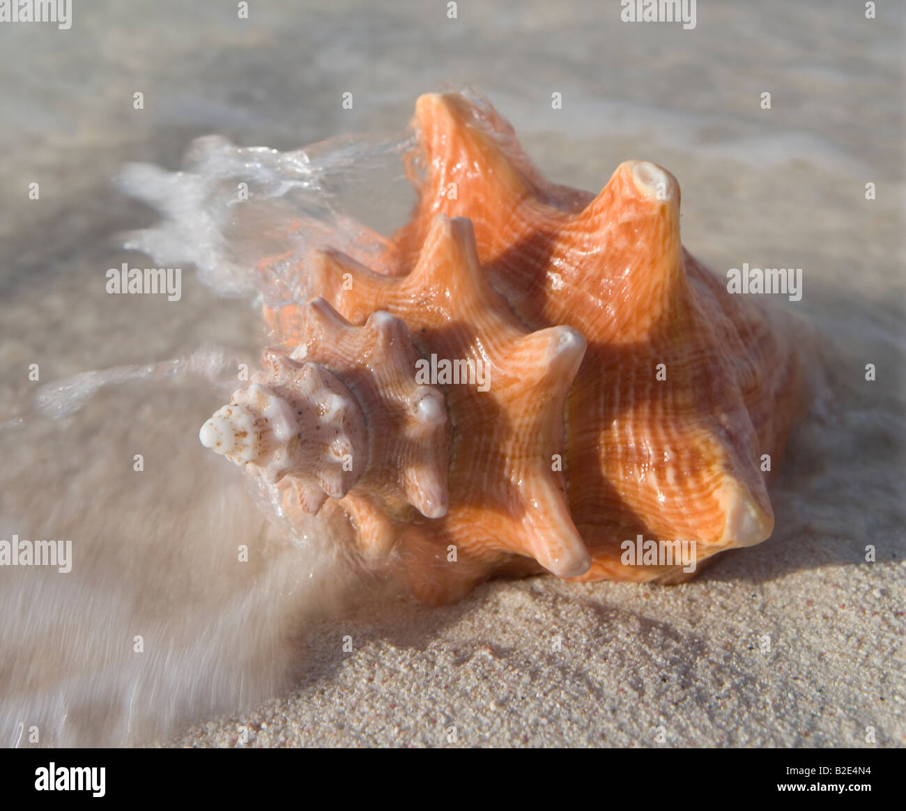 A mollusk shell on the beach - Stock Image