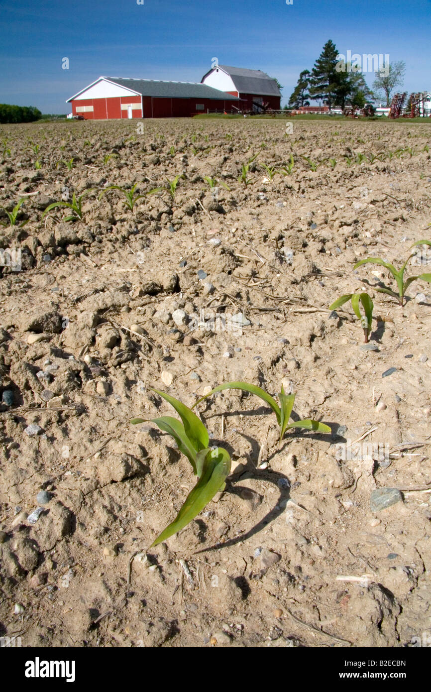 Corn seedling on a farm in Gratiot County Michigan Stock Photo
