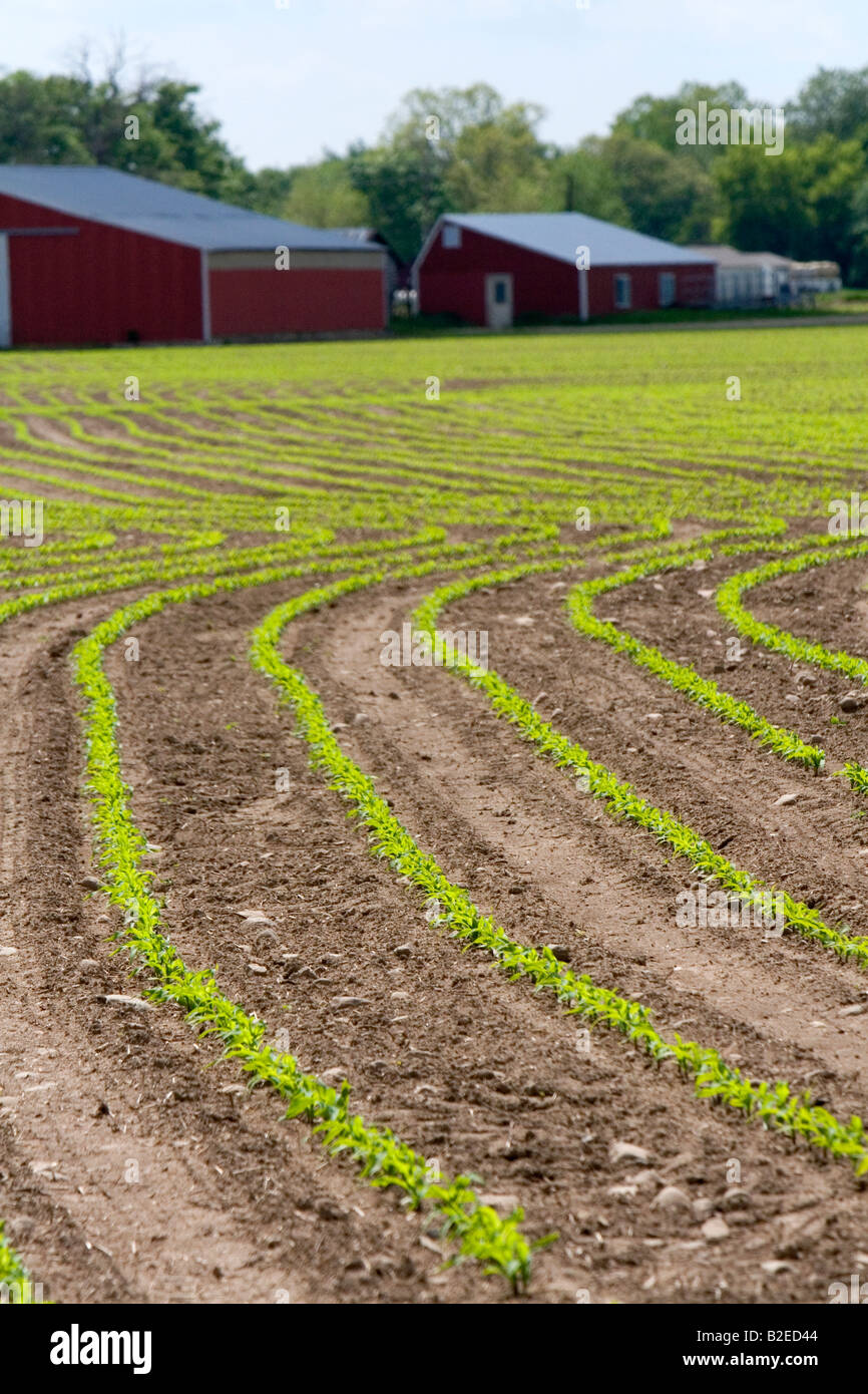 Rows of seedling corn plants on a farm in Montcalm County Michigan Stock Photo