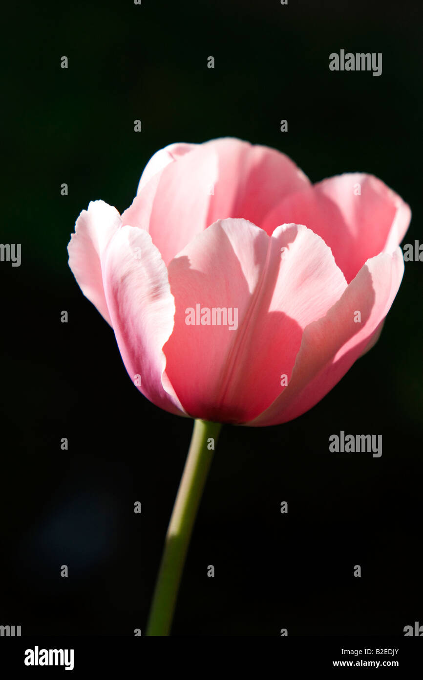 Pink tulip flower - Stock Image