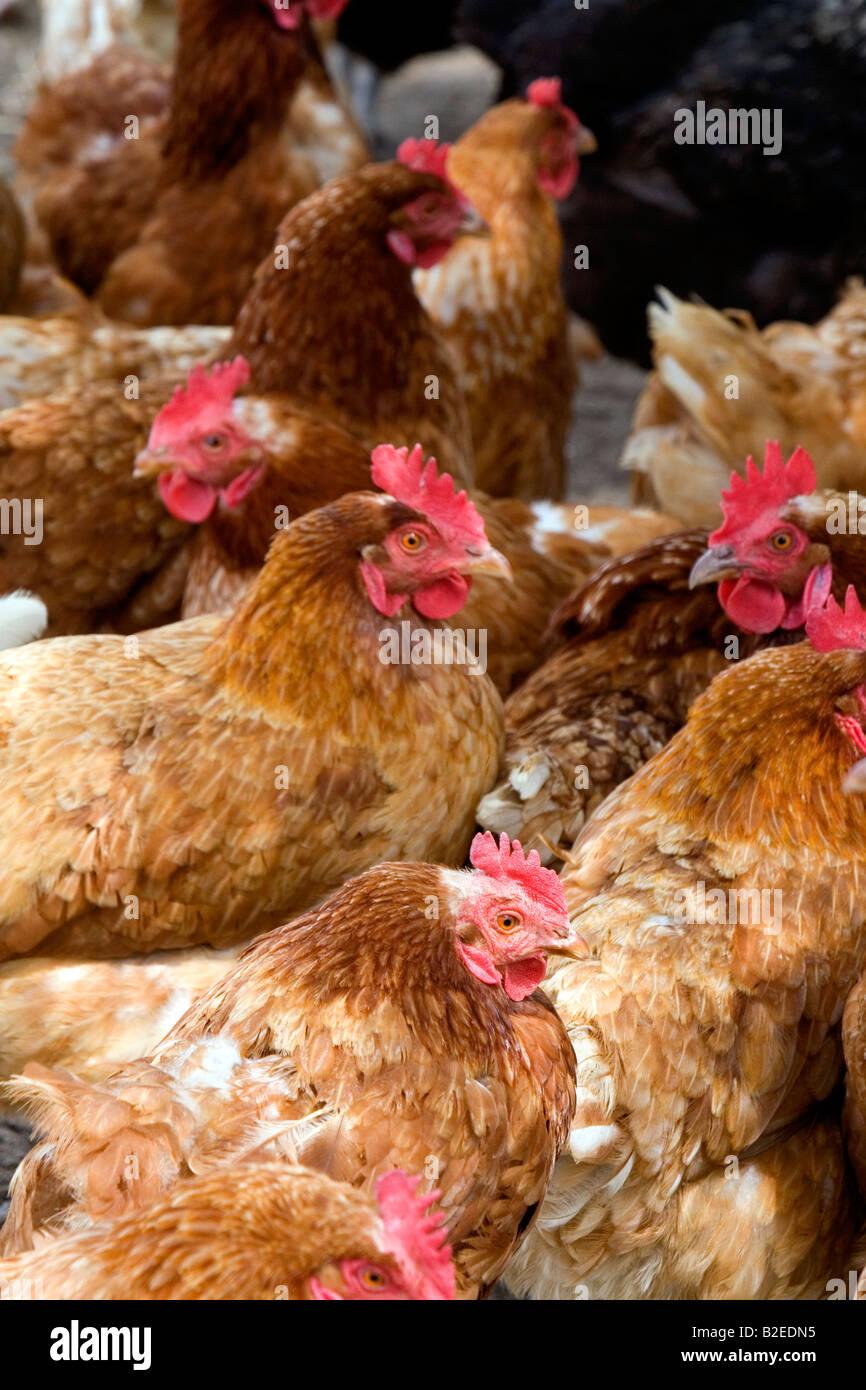 Chicken hens on a farm in Lenawee County Michigan - Stock Image