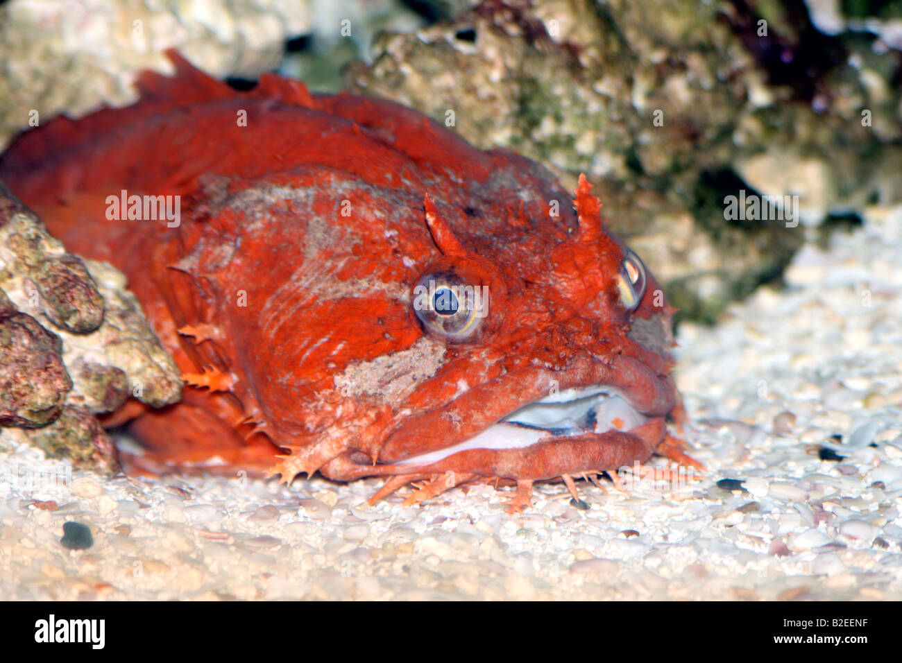 a Gulf Toadfish laying on the bottom of the sea Stock Photo ...