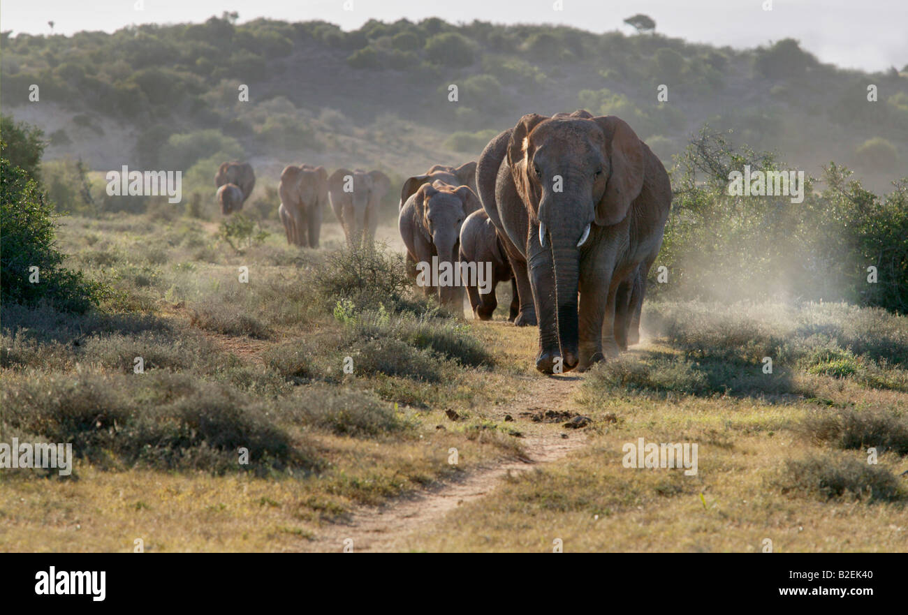 A scenic view of a breeding herd of elephants walking down a path towards the camera - Stock Image