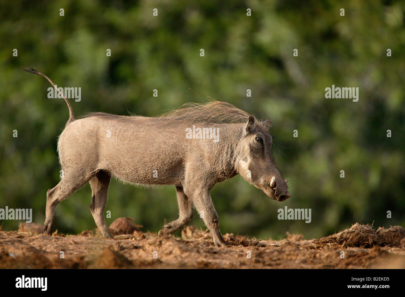 Warthog trotting with tail upright - Stock Image