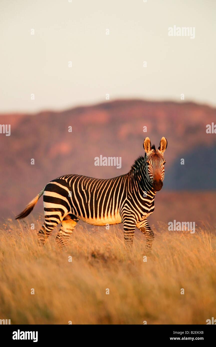 A Cape mountain zebra stallion in moody light - Stock Image