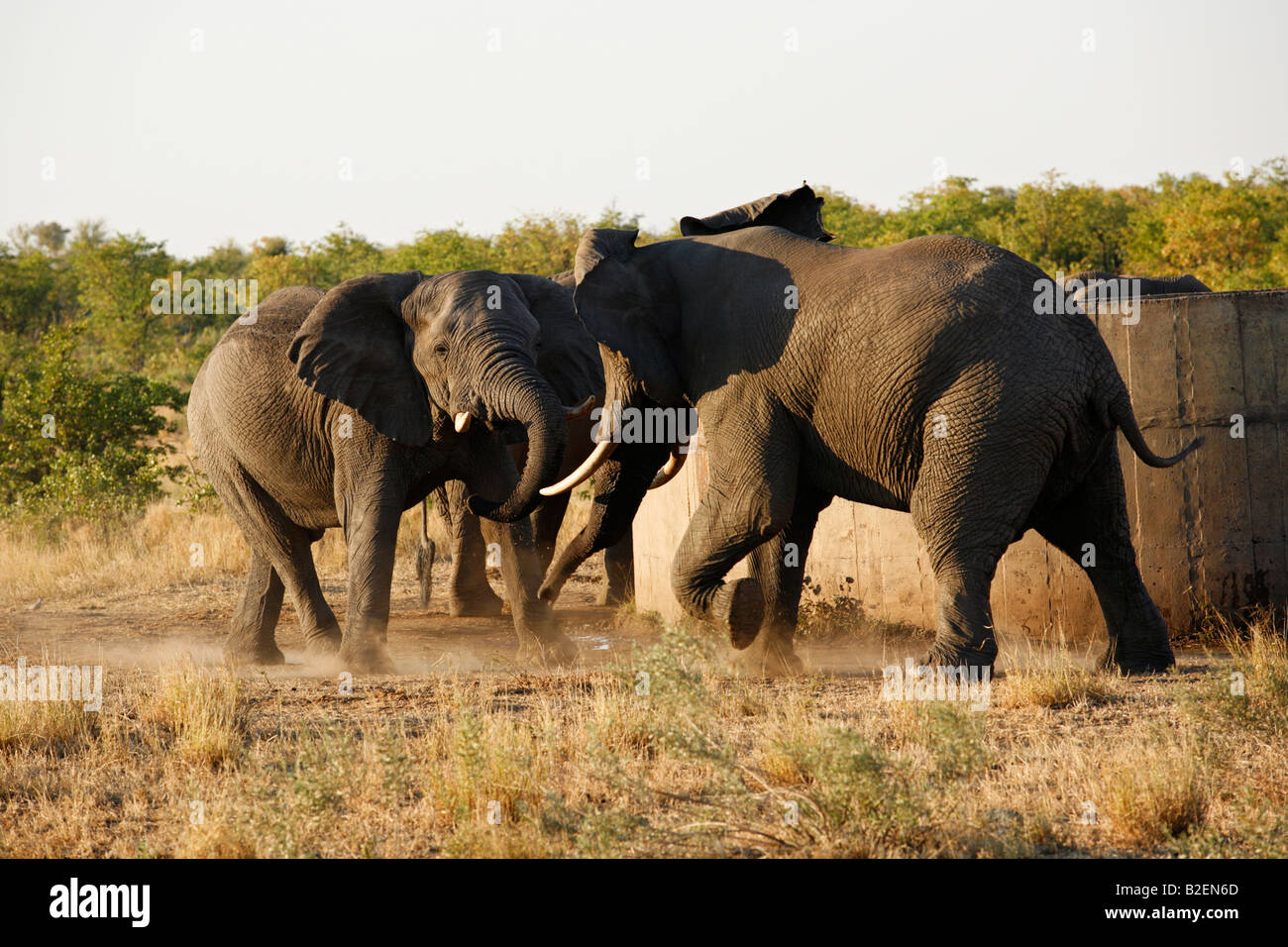 Two bull elephants clash while drinking water at a reservoir - Stock Image