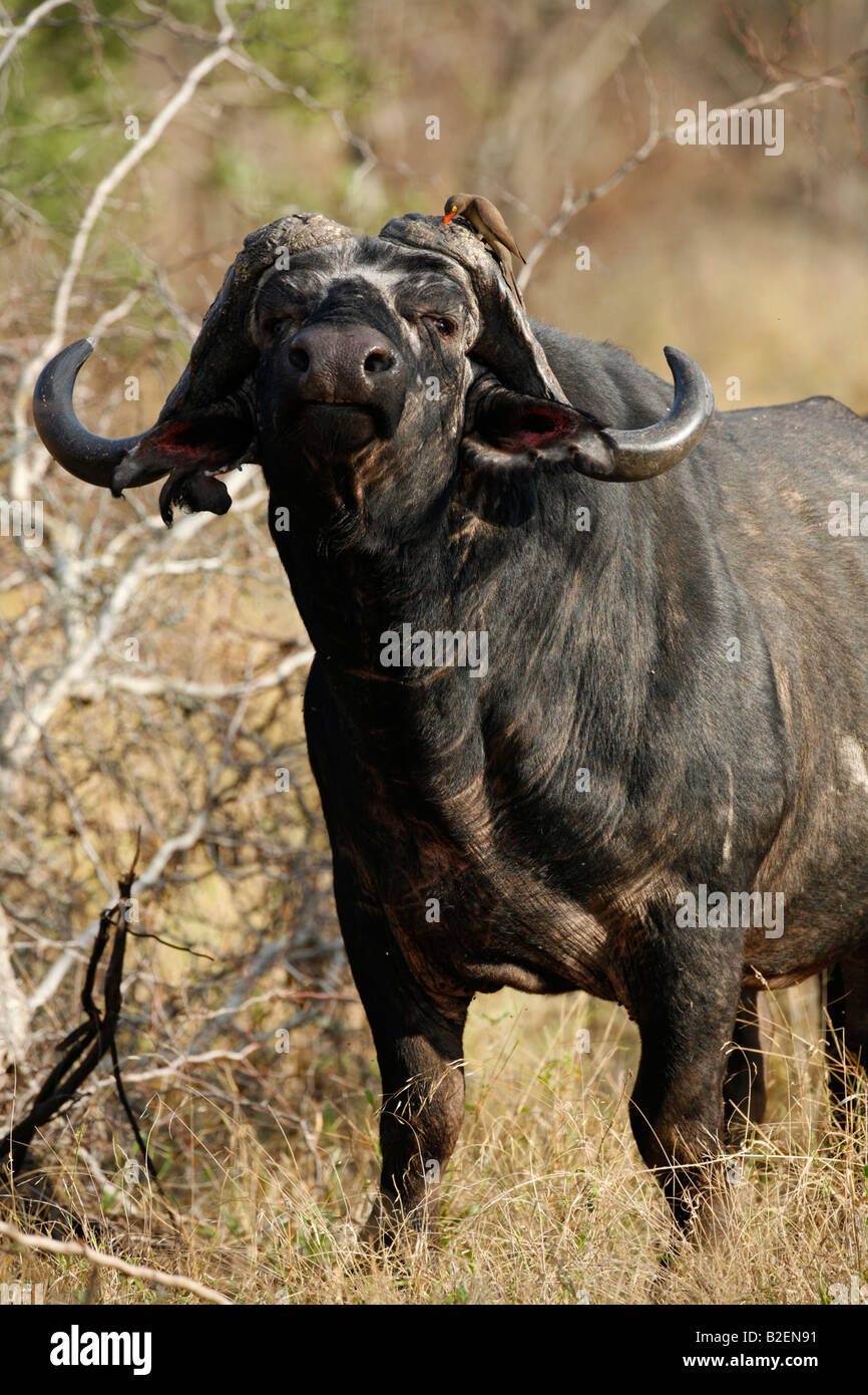 Portrait of a buffalo bull looking agitated - Stock Image