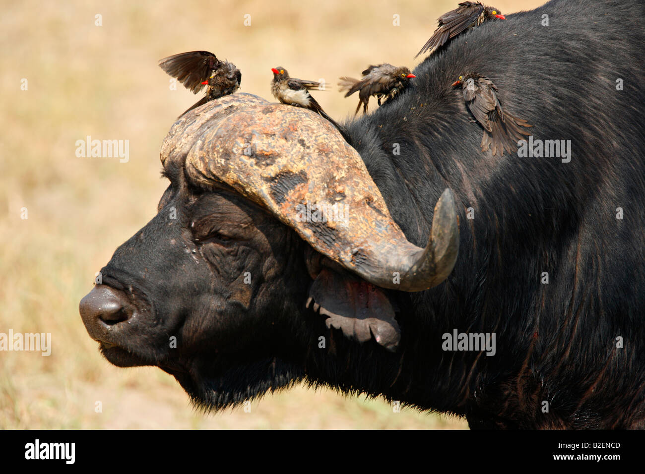 Portrait of buffalo bull with red-billed oxpecker drying off and preening after a waterbath while perched on the - Stock Image