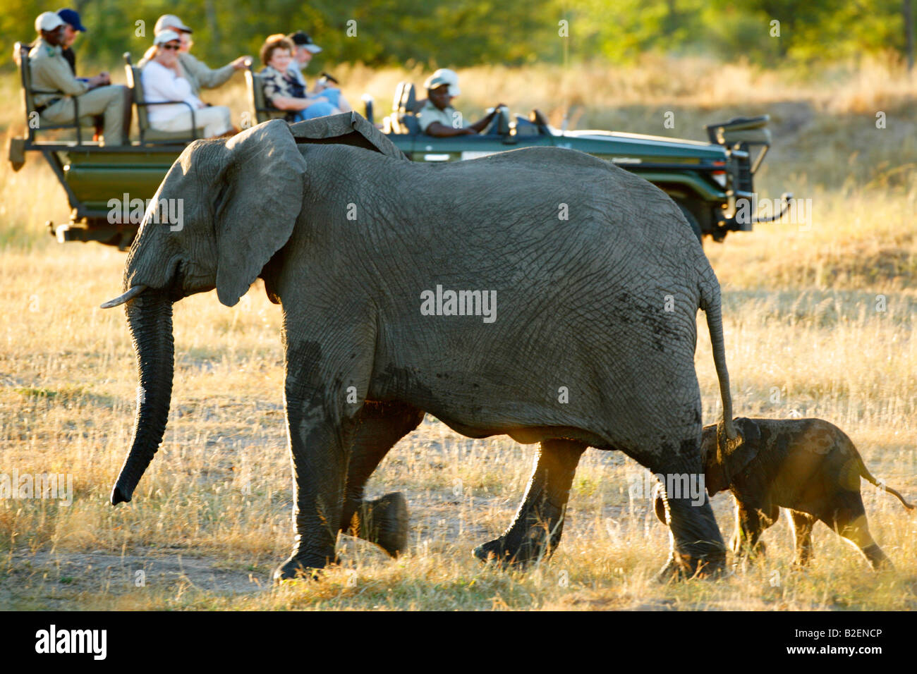 Tourists watch an African elephant cow and her calf from an open safari vehicle - Stock Image
