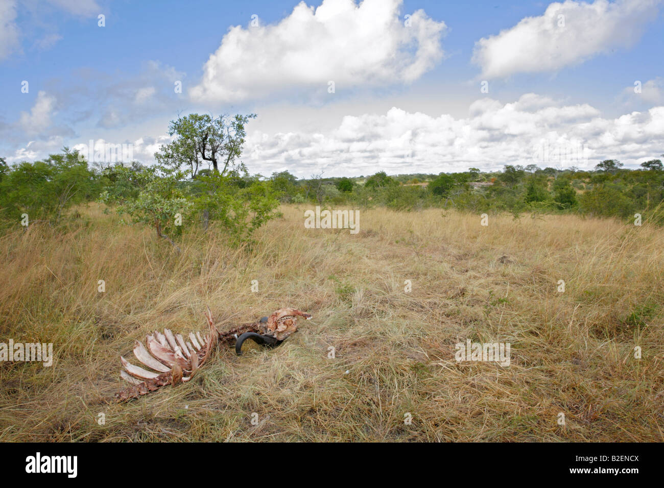 A scenic view of the final remains of a buffalo killed by lions after it has been picked clean by hyaenas and vultures - Stock Image
