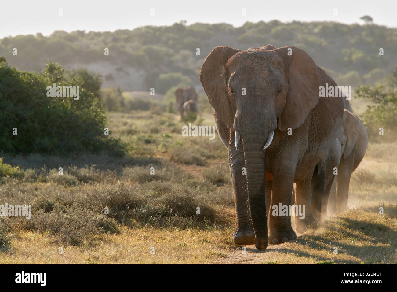 A herd of elephants walking down a path towards the camera - Stock Image