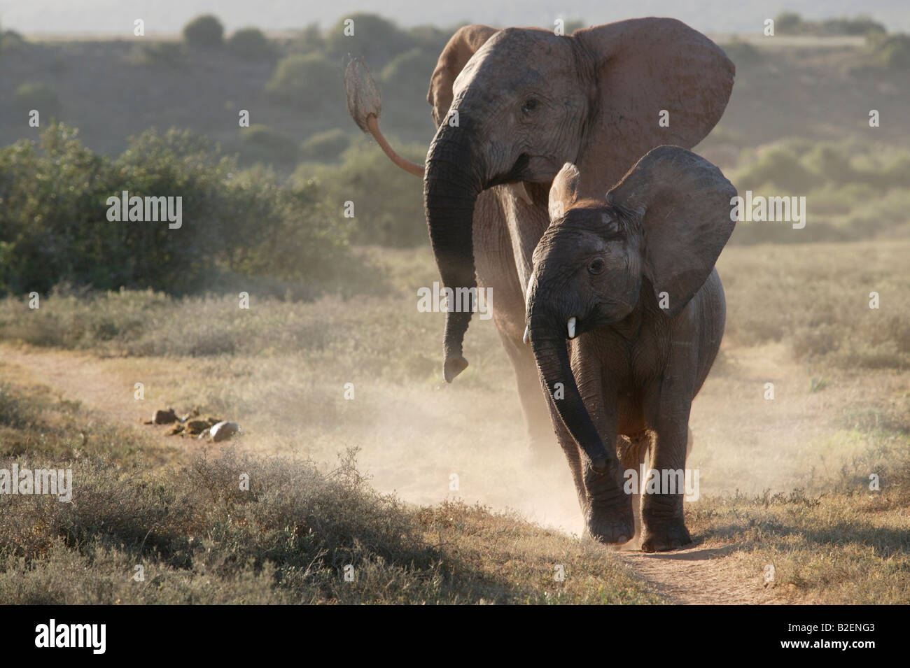 A frontal view of two elephants in an aggressive pose Stock Photo