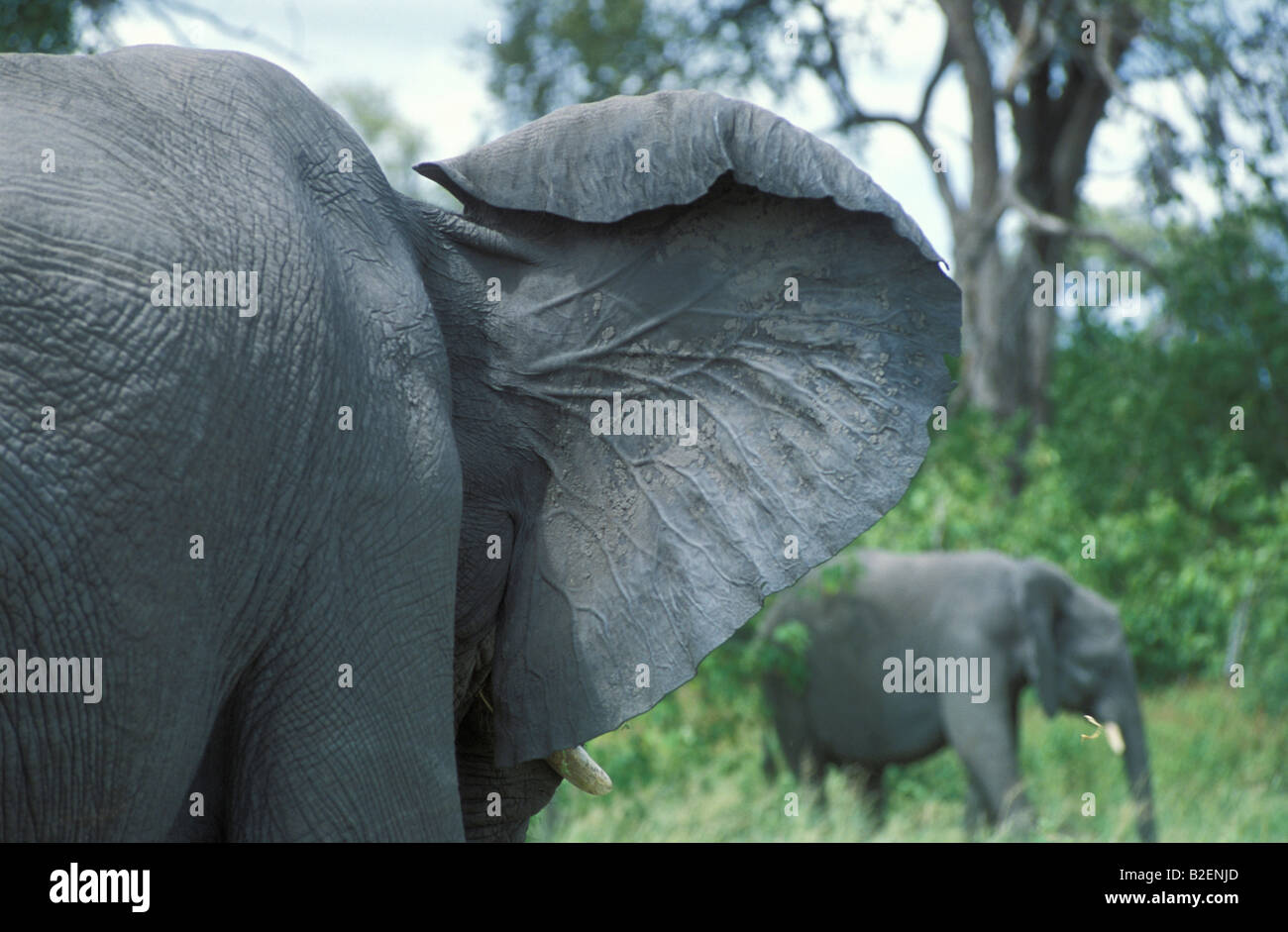 Close Up View Of The Rear Of An Elephant S Ear Showing The Large