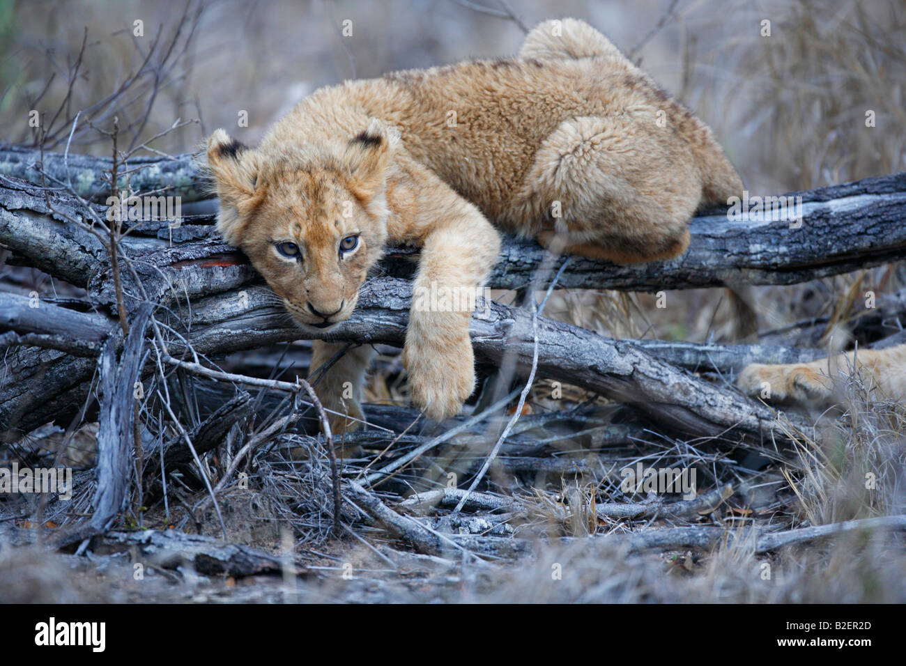 A lion cub hanging listlessly on scrub listening for sounds coming from behind - Stock Image