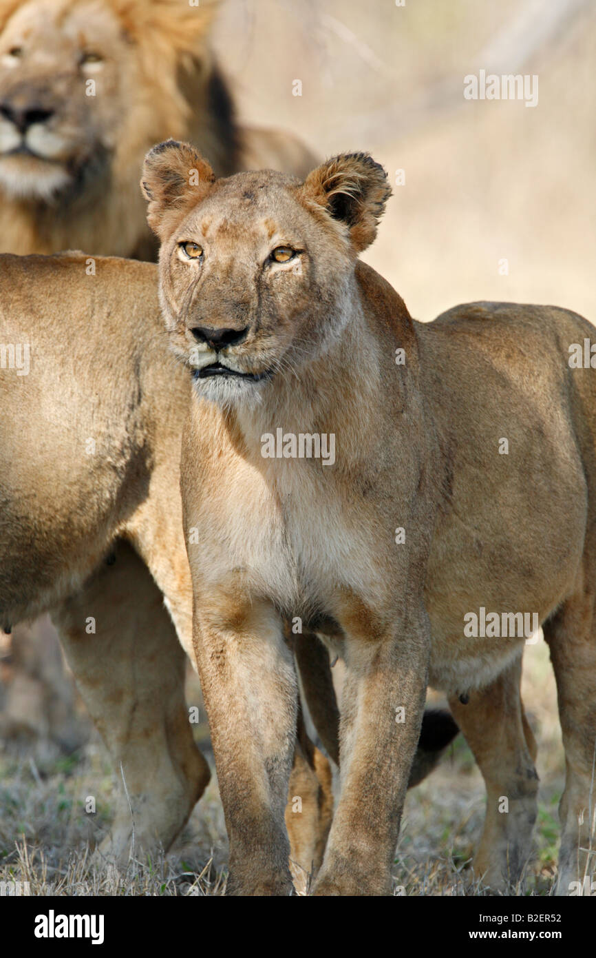 A lioness looking alert seeing prey in the distance Stock Photo