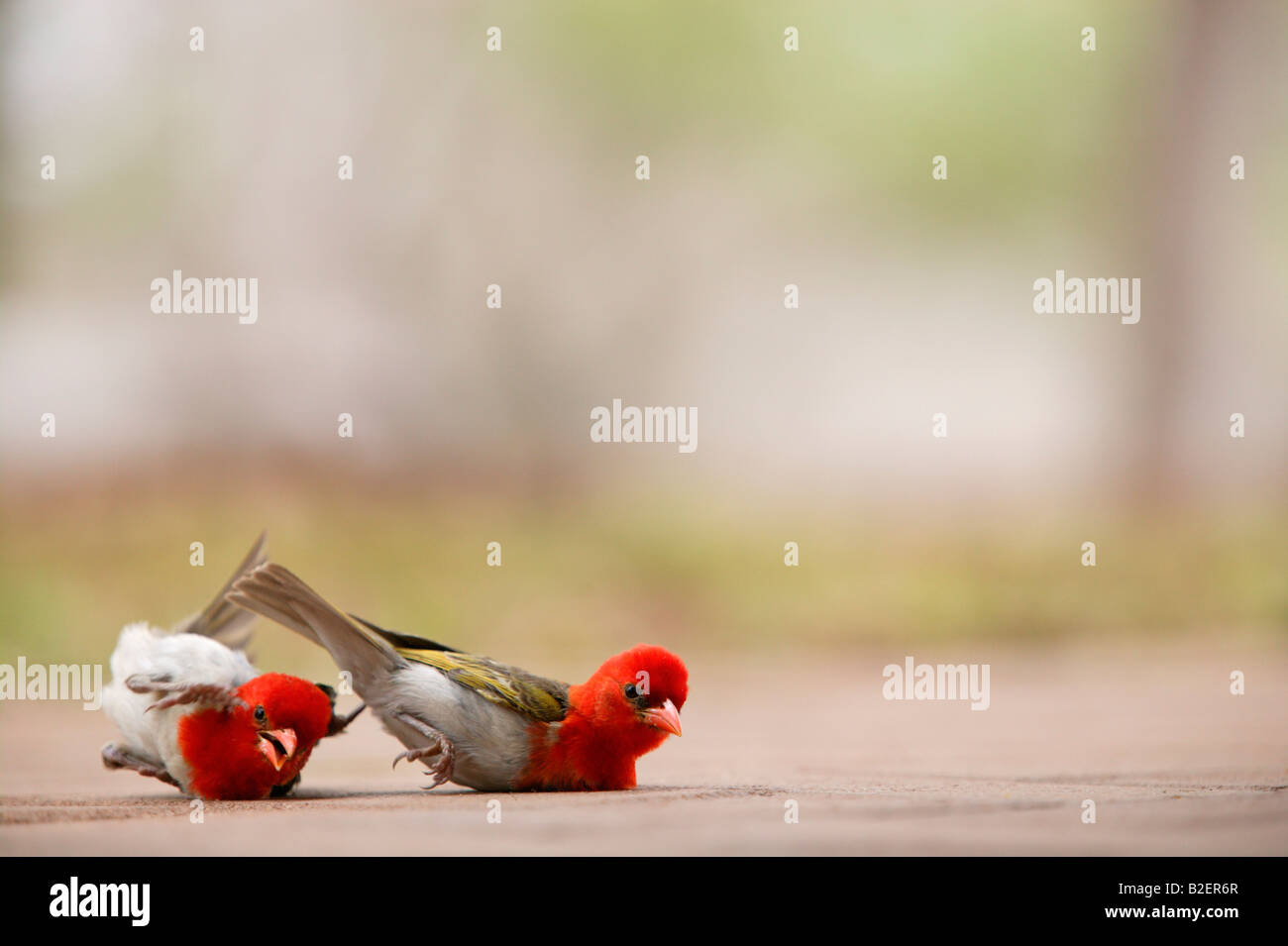 Two red headed weaver lying on the ground pausing during a fight - Stock Image