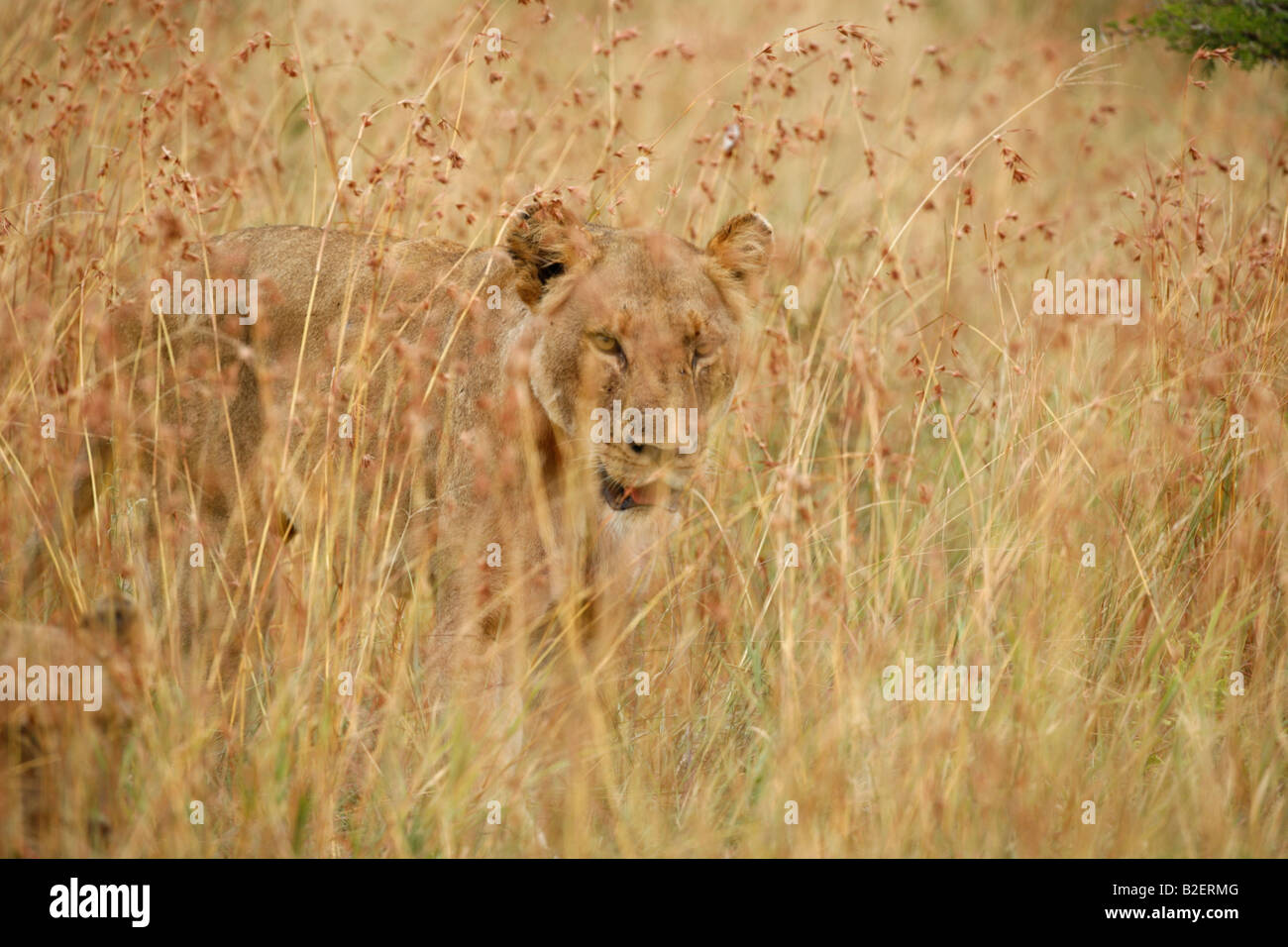 Lioness walking in long grass - Stock Image