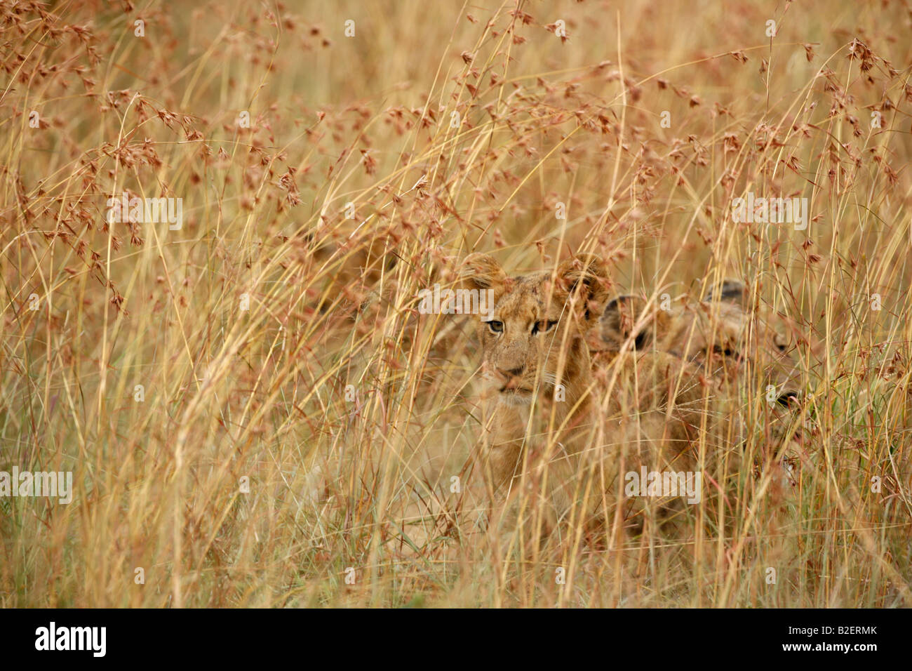 Lion cubs hiding in long grass - Stock Image