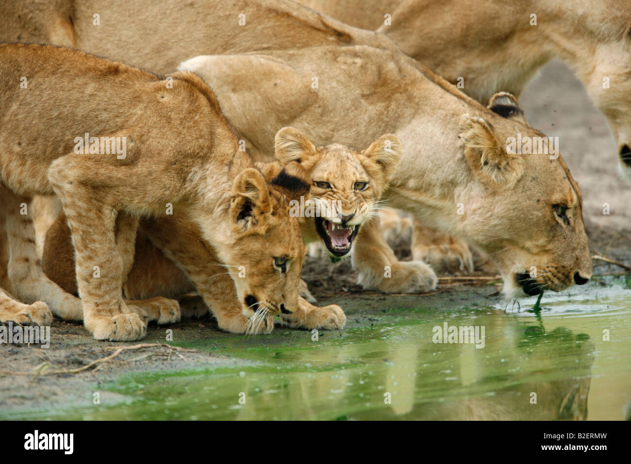 Lion pride with a snarling cub drinking from a natural wateringhole - Stock Image