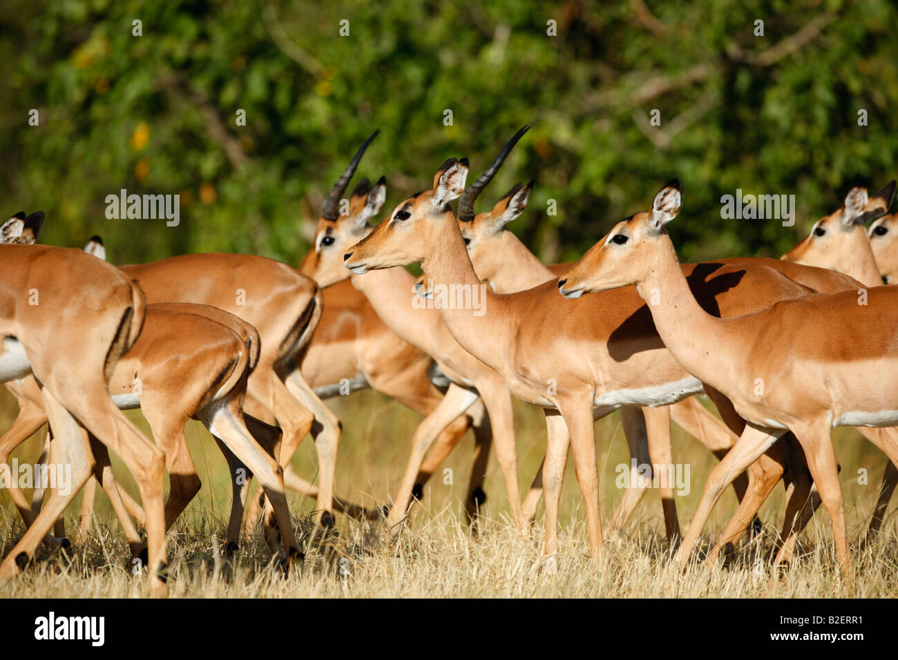 Tight shot of an impala herd with sub-adult rams and ewes walking huddled close together - Stock Image