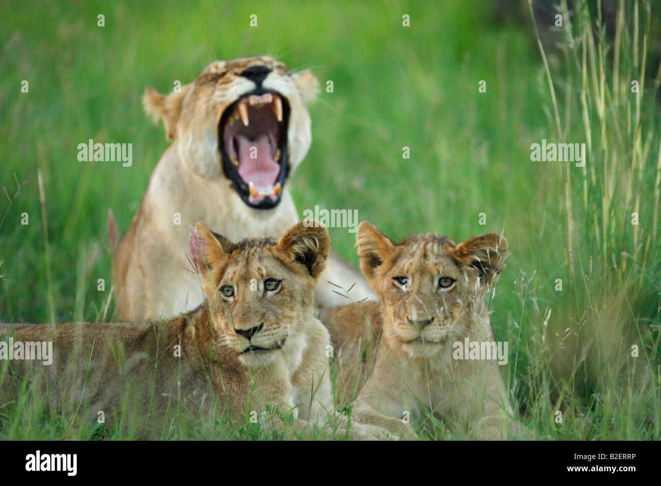 Two lion cubs resting in front of a female yawning in the background - Stock Photo