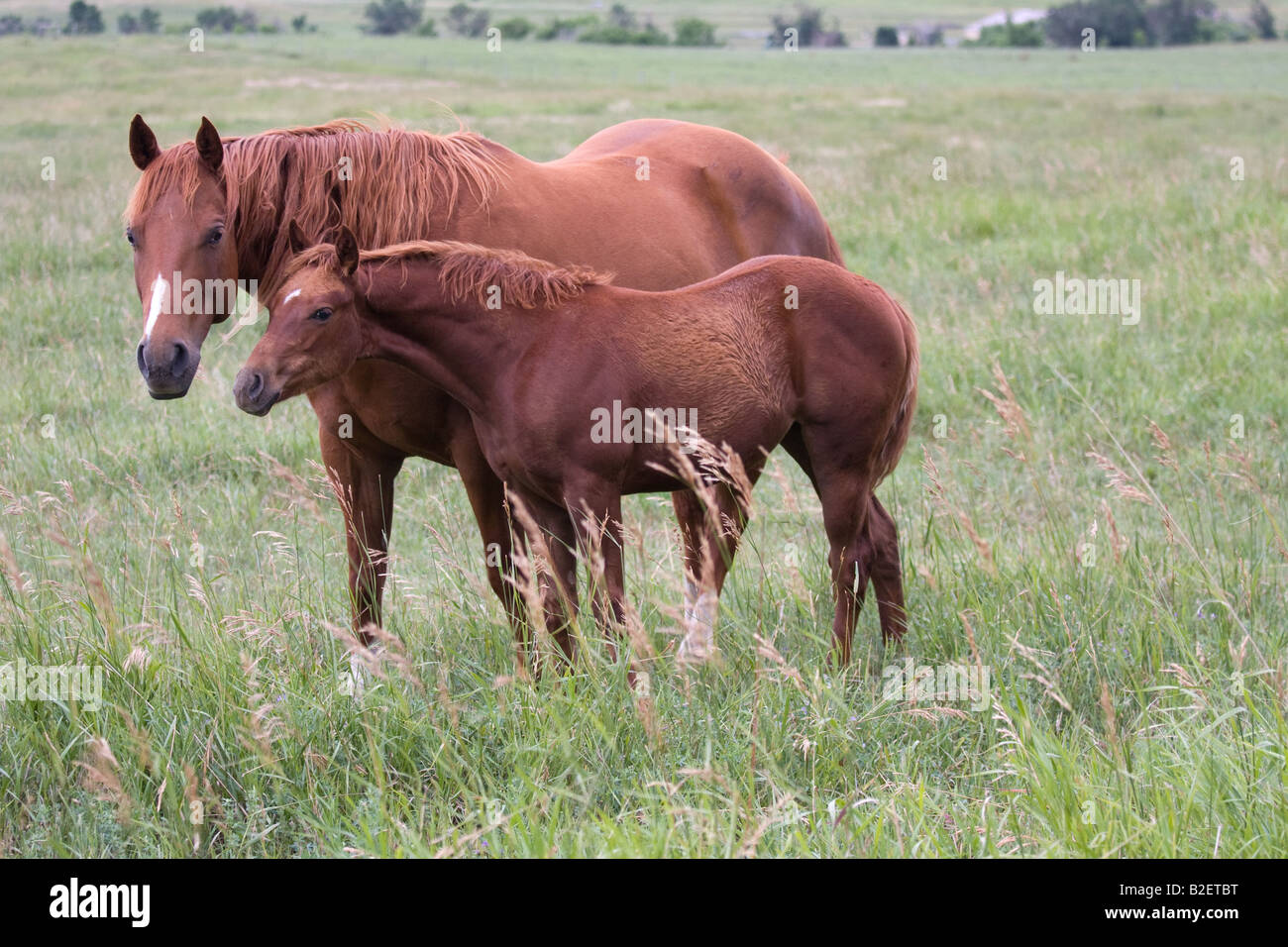 Sorrel quarter horse mare and foal in field of tall green grass - Stock Image