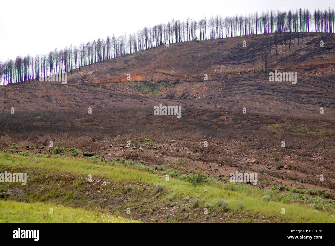 A hillside with pine trees burnt during runaway forest fires - Stock Image