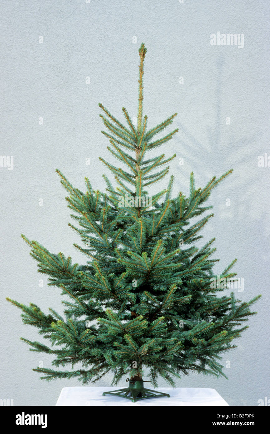 Blue Spruce (Picea pungens) as an undecorated Christmas tree - Stock Image